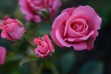 DESTINAȚII CU GUST Alba: Trandafiri murați, o rețetă inedită de sezon