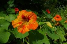 LEACURI DIN NATURĂ: Condurul doamnei (Tropaeolum majus)