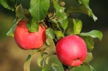 Un măr pe zi întărește sistemul imunitar