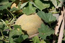 ECO&BIO- Pepenele galben, în dieta mediteraneană de peste 3.000 de ani