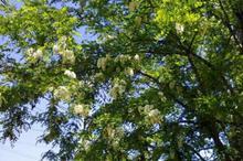 DESTINAȚII CU GUST Mehedinți: Mâncarea de sezon a apicultorilor - chiftele din flori de salcâm