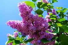 DESTINAȚII CU GUST Mehedinți: Elixirul tinereții - florile de liliac de culoare mov