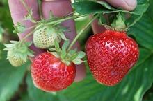REȚETE VECHI DE 100 DE ANI: Fasole verde olandeză și Tartă cu căpșuni