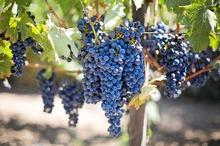 VITICULTURĂ ROMÂNEASCĂ: Novac, unul dintre cele mai valoroase soiuri noi autohtone